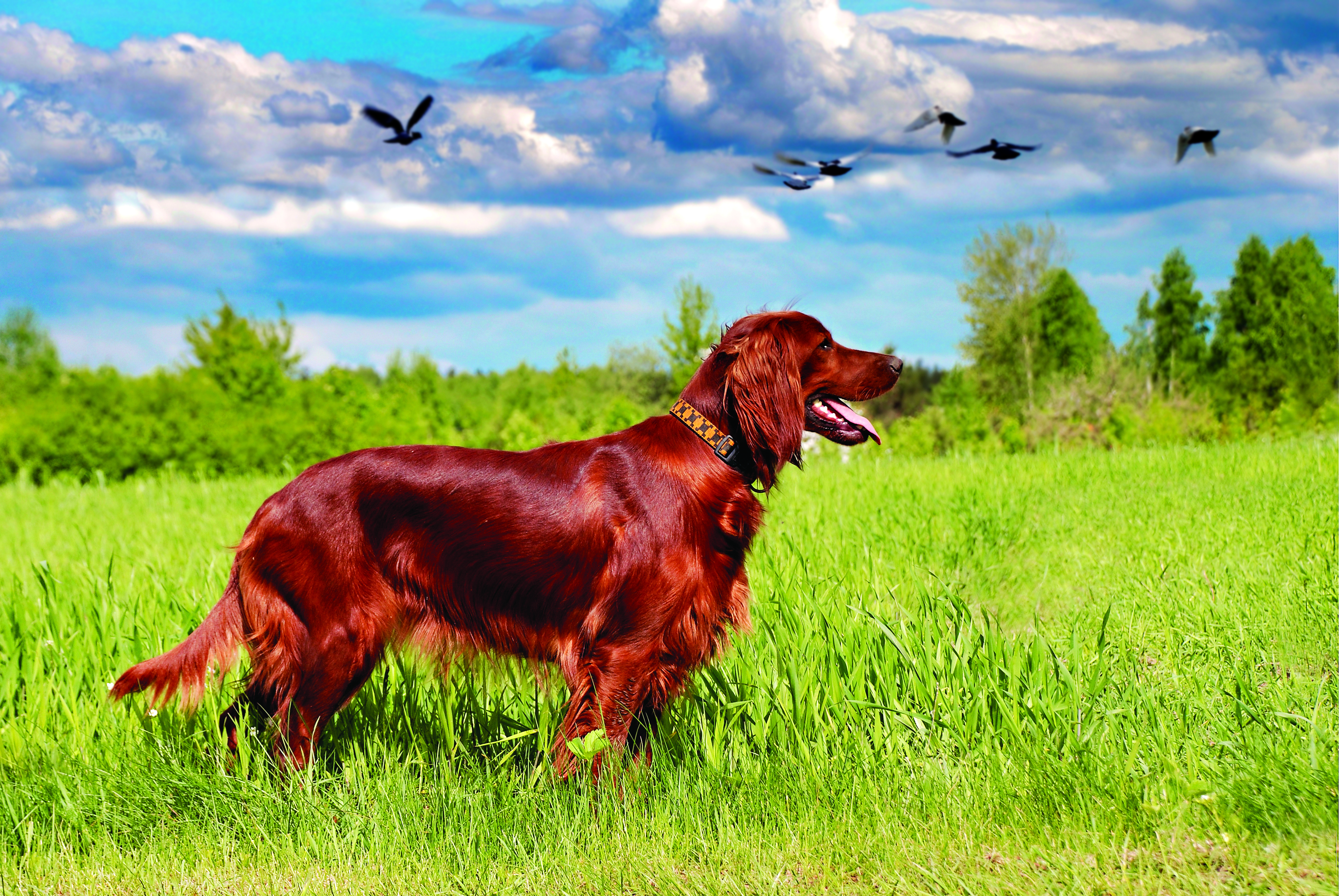 Hunting irish setter standing in the grass